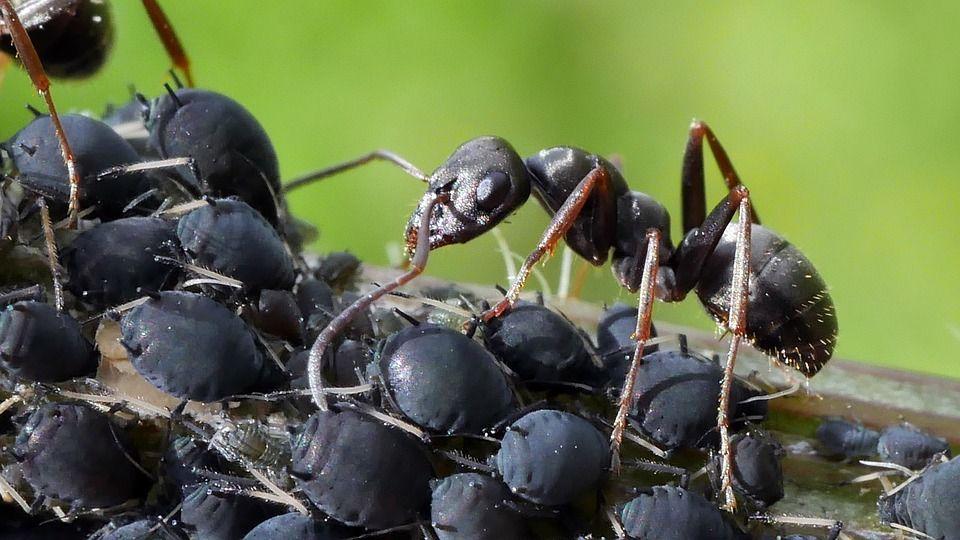 hormiga y pulgones