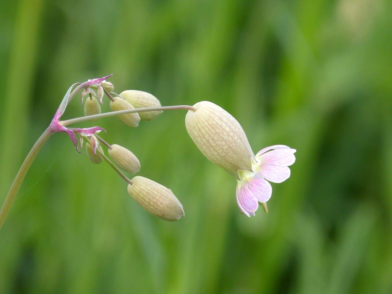 bladder campion 5034810 1280 - Conocimiento y defensa de la Biodiversidad